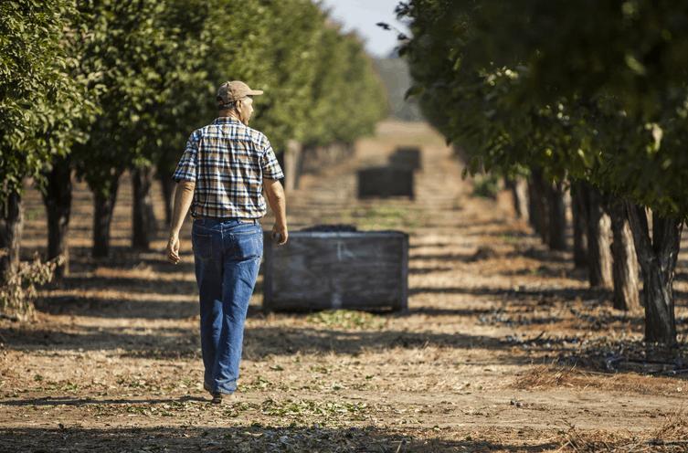 California Dried Plum Harvest Is Happening Ripe Now!