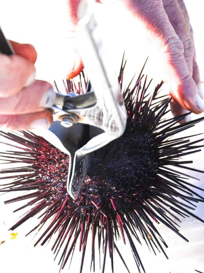 Santa Barbara Sea Urchin - Uni Gold