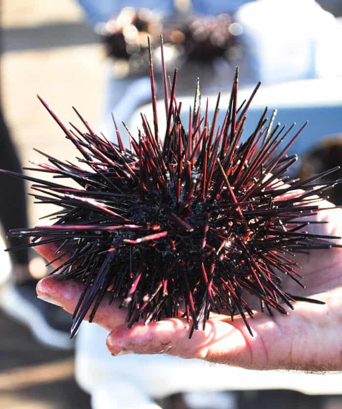 Santa Barbara Sea Urchin Stroll
