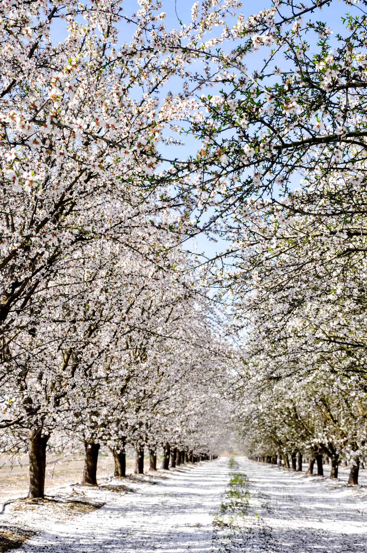 DSC_05California Fresno County Blossom Trail