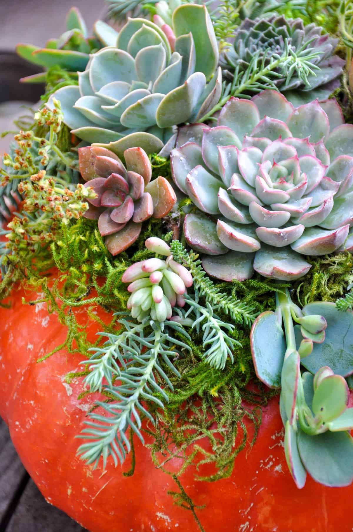 Succulent Pumpkin Centerpiece Tutorial California Grown