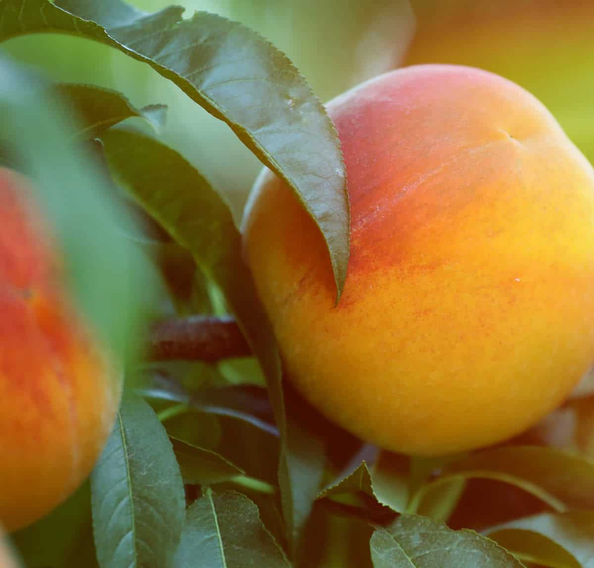 We're peachy keen on desserts and treats starring California Cling Peaches