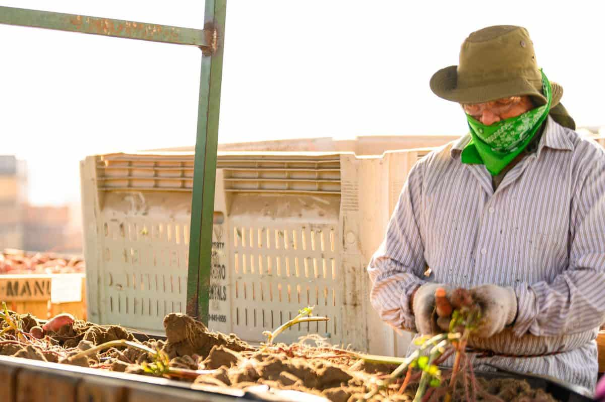 How Farmers Grow Sweet Potatoes in California