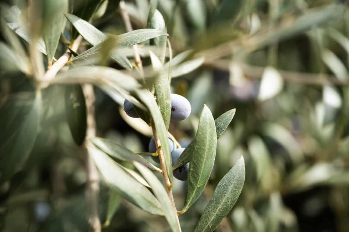 Olive leaves and fruit