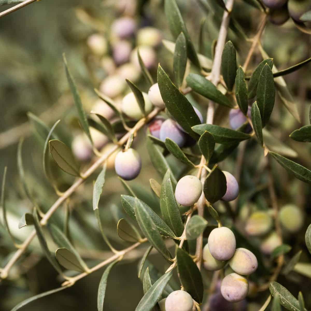 California Grown Olives at Rosenthal Ranch