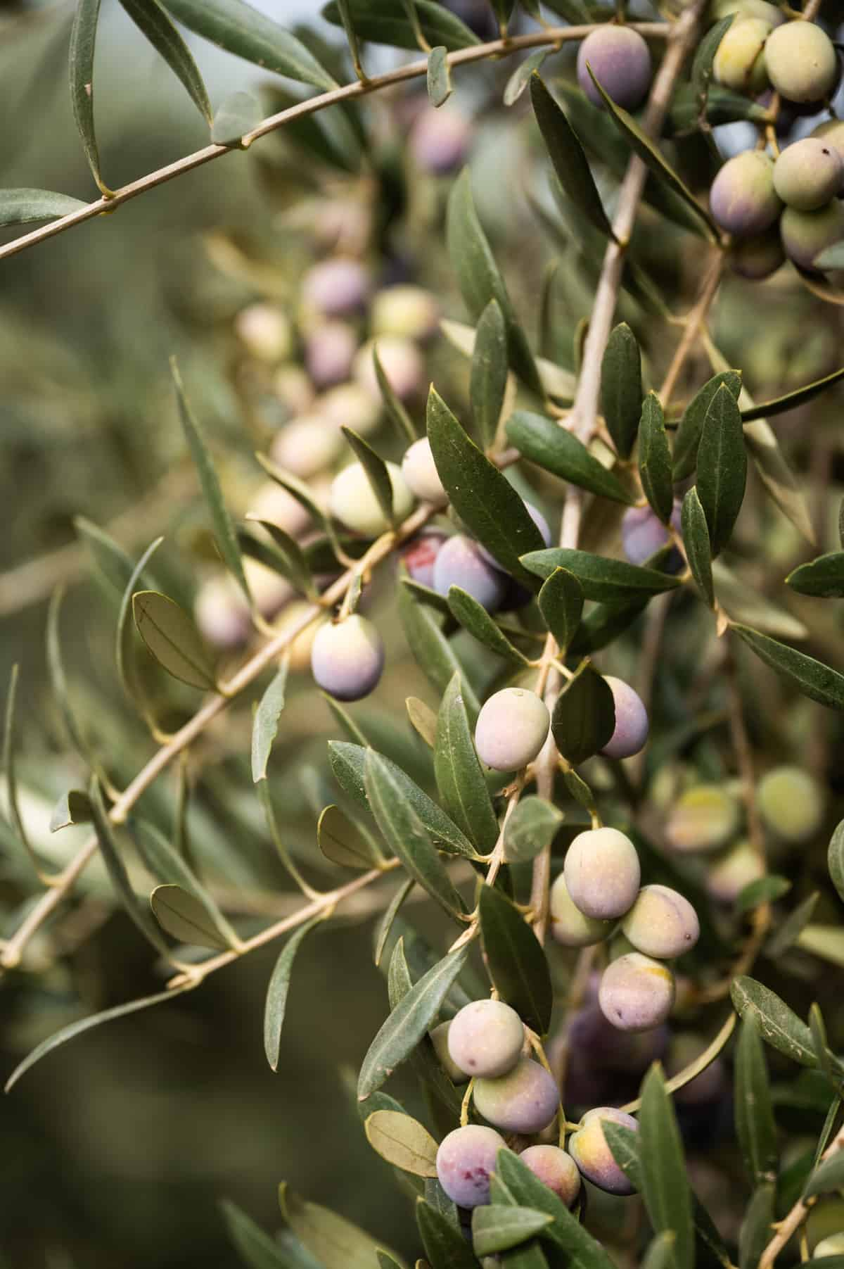 California Grown Olive Oil: Everything You Ever Wanted to Know + 9 Easy Recipes!