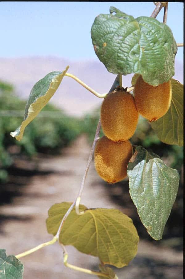 Kiwi fruit growing on a vine.