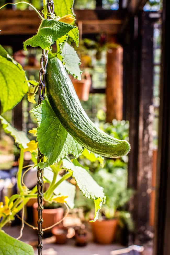 A persian cucumber growing up a trellis in a container garden.