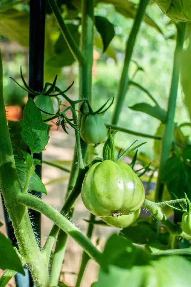 A green tomato on the vine in a container garden.