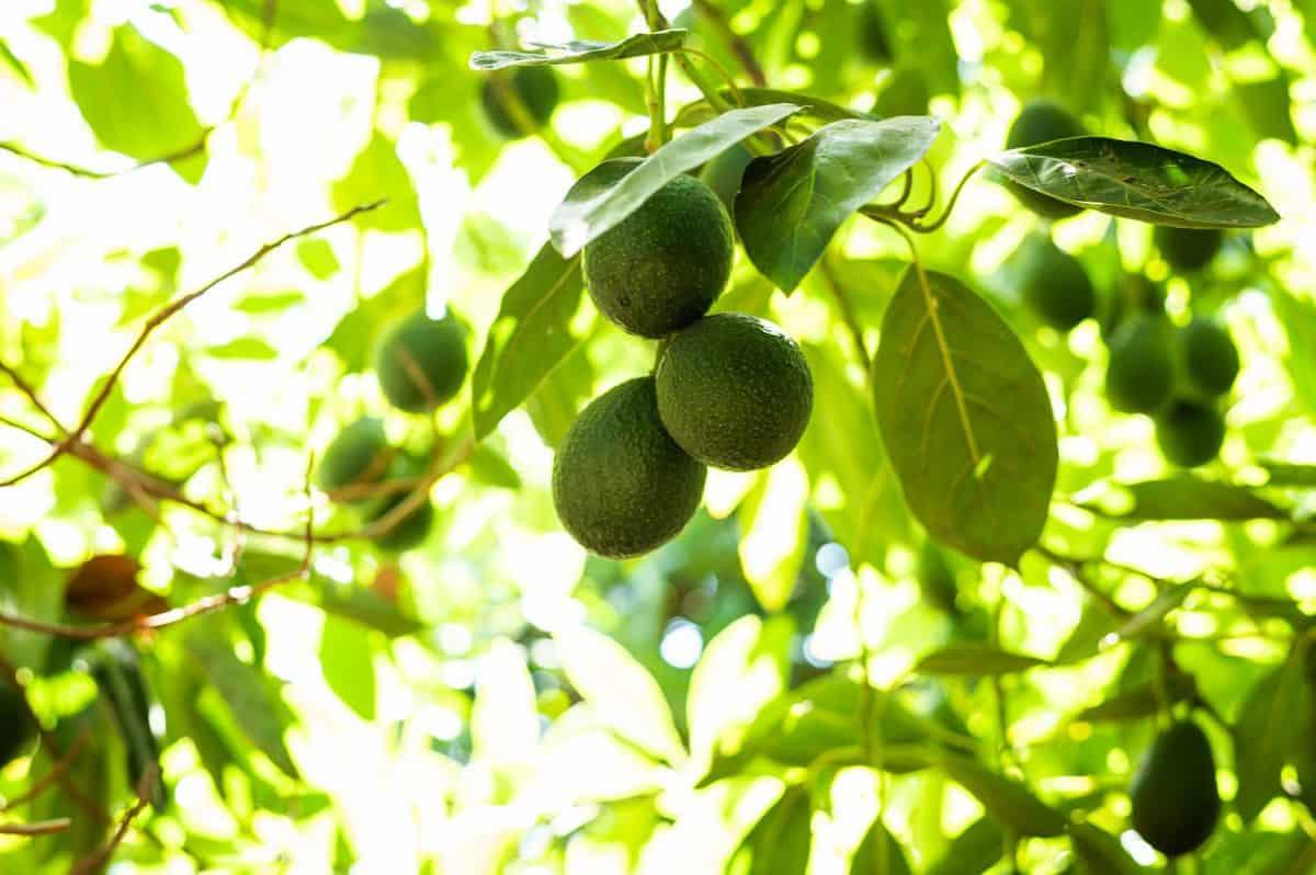 Stepladder Ranch Avocados